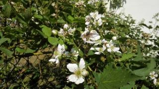 včela na ostružině